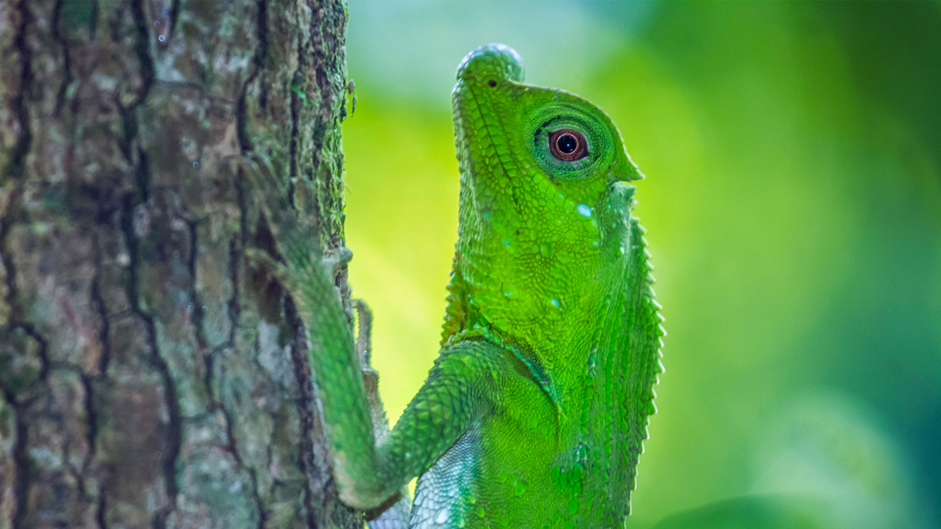 Hump-nosed-Lizard-in-Sinharaja-forest-reserve,-Sri-Lanka