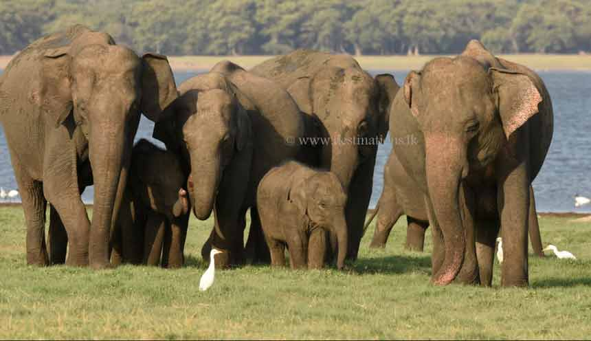 Elephants: Minneriya National Park