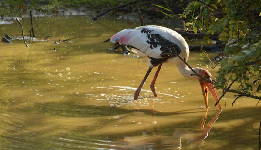 large_wading_bird_at_wilpattu_national_park